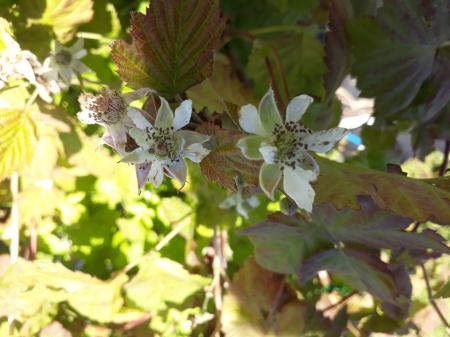 Rubus 'Tayberry'
